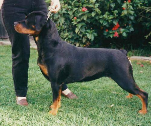 Rottweiler club south australia